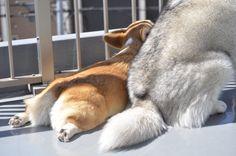Fluffy Dogs, Animals And Pets, Corgis, Cute, Addiction, Twitter, Pets, Kawaii, Corgi