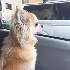 わたしの助手席がチワワ特等席問題  楽しいのでいいかー  #私が助手席に乗りたい #dekachiwa #chihuahua #dog #チワワ #ふわもこ部 #chihuahuaofinstagram