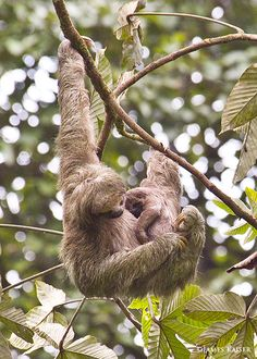 Sloth mother and baby, Costa Rica