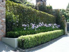 Michelia hedge at back