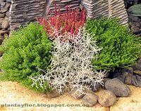 Leucophyta brownii 'Silver Nugget'