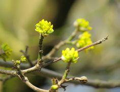 #-neuer Gartentraum- Kornelkirsche Cornus mas