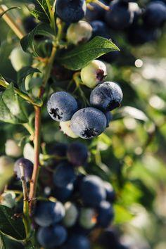 Frische Blaubeeren stecken voller Vitamine, Mineralien und Antioxidantien.