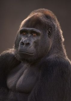 Western Lowland Gorilla, love this photo it really shows what gentle creatures they are.