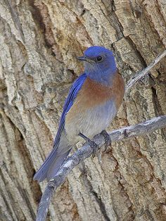 Western Bluebird -Bluebirds are territorial and prefer open grassland with scattered trees. This is similar to the behaviour of many species of woodpecker. Male--Bluebirds are one of the few thrush genera in the Americas. They have blue, or blue and rose beige, plumage. Female birds are less brightly colored than males, although color patterns are similar and there is no noticeable difference in size between the two sexes.