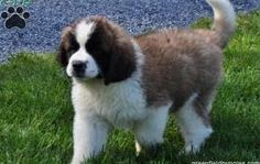 Young St. Bernard - what Max looked like