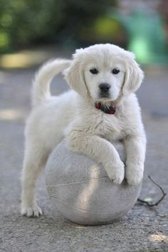 Bianca the Golden Retriever Puppy, by mavironchi on Baby Animals, Funny Animals, Cute Animals, Cute Dogs And Puppies, I Love Dogs, Doggies, Puppies Puppies, White Lab Puppies, Fluffy Puppies