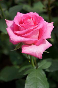 Hybrid Tea Rose: Rosa 'Laser' <レーザー>    (Japan, before 1990)