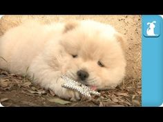 Chow Puppy Wants To Be A Princess - Puppy Love
