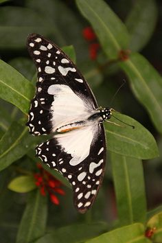 """Mocker Swallowtail this lovely African Butterfly is also know as the """"Flying Handkerchief""""."""