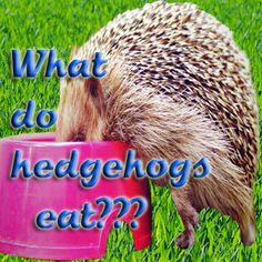 IMPORTANT: This is for adult African Pygmy Hedgehogs. For baby hedgehogs, read this post.Hedgehogs are natural insectivores (insect eaters), but this doesn't mean that you need to feed your hedgehog bugs and insects.But if not fresh insects, what do you feed your hedgehog?Commercial foods are the first hedgehog feeding options to come to mind.Yet, even though there are many commercial
