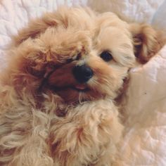 I want a Cavapoo Cavapoo Puppies, Westies, Cute Puppies, Dogs And Puppies, Maltipoo, Cavachon, Cute Little Animals, Dog Grooming, Belle Photo