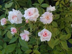 Cecile Brunner, also known as Mme. Cècile Brünner and The Sweetheart Rose, is a bush rose that grows to 4 feet. It blooms profusely in the spring and then continues to bloom until frost. Blossoms are a soft silvery pink and look like a hybrid tea in miniature. They appear in clusters and have a sweet fragrance. This is one of the best loved and easiest to grow rose varieties