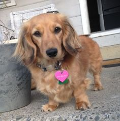 Golden Dox ♥ (Golden Retriever and Dachshund Mix)