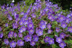 Geranium Rozanne Plant -learn more about this plant. Large, 5 petaled, violet-blue flowers (to inches diameter) Deeply cut, slightly marbled, deep green foliage. Cranesbill Geranium, Hardy Geranium, Perennial Geranium, Flowers Perennials, Planting Flowers, Purple Perennials, Long Blooming Perennials, Perennial Border Plants, Beautiful Gardens