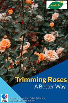 Garden Rx shows your a new and better way to cut and trim rose bushes for healthier growth.
