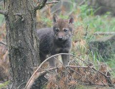 Baby European Grey Wolf Cub