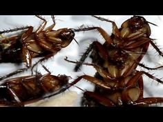 How to get rid of Cockroaches from your homes forever How To Get Rid, How To Remove, Getting Rid Of Rats, Roach Killer, Keep Bugs Away, Rid Of Ants, Boric Acid, Best Pest Control, Rats