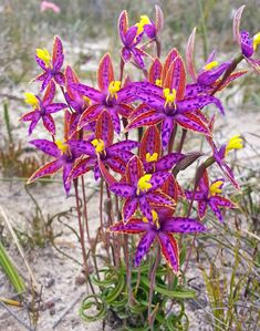 Eastern Queen-of-Sheba Orchid: Thelymitra speciosa; Photo by Mary Hoffman; 2016 Winner Photo-of-the-Year - Western Australian Native Orchid Study and Conservation Group Unusual Flowers, Unusual Plants, Exotic Plants, Amazing Flowers, Australian Wildflowers, Australian Native Flowers, Australian Plants, Rare Orchids, Orchid Plants