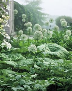 'White Giant' alliums hover over the huge leaves of Astilboides tabularis - The massive foliage helps to cover the alliums' withering leaves when the flowers stop blooming.