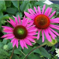 """Echinacea Green Eyes, 20-30"""", starts with a """"green eye"""" that becomes orange at maturity, fragrant"""