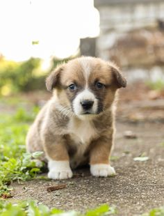 😘#Adorable, #happy, #playful, and #fulloflife! Rosie is a #cute and very #friendly #WelshCorgi #puppy and is #familyraised with lots of #TLC and is very #wellsocialized with children. • #Charming #PinterestPuppies #PuppiesOfPinterest #Puppy #Puppies #Pups #Pup #Funloving #Sweet #PuppyLove #Cute #Cuddly #Adorable #ForTheLoveOfADog #MansBestFriend #Animals #Dog #Pet #Pets #ChildrenFriendly #PuppyandChildren #ChildandPuppy #LancasterPuppies www.LancasterPuppies.com Bernadoodle Puppy, Welsh Corgi Puppies, Lancaster Puppies, Animals Dog, Puppies For Sale, Mans Best Friend, Puppy Love, Pets, Children