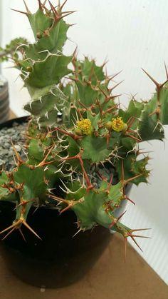 Euphorbia tortirama.
