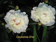 "Paeonia lactiflora ""Couronne D'or"" Couronne D'or Garden Pioni EC Brownin lastentarhoista"