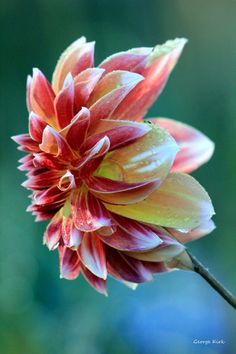 Lightly frosted Dahlia by George-kirk.deviantart