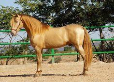 Spanish stallion. (Yeguada Paco Marti ?)