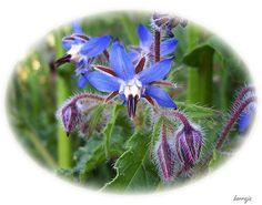 Borage: Borago officinalis [Family: Boraginaceae] - Flickr - Photo Sharing!