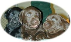 Puppies - Quality Labrador Retrievers for Performance, Hunting, Conformation, and Companions. Our puppies are bred for outstanding health and temperament. Labrador Breeders, Deep Run, Hunting, Labrador Retrievers, Puppies, Labs, Animals, Health, Labrador Retriever
