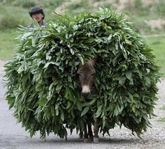A donkey carries a load in Tajikistan