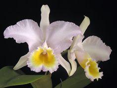 """Cattleya trianae concolor """"Amarillo limón"""""""