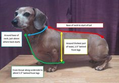 How to measure your Dachshund. Step-by-step instructions on measuring a Dachshund for a custom coat, harness or other types of clothing. Dachshund Funny, Dachshund Breed, Dachshund Sweater, Dachshund Clothes, Dapple Dachshund, Mini Dachshund, Dog Sweaters, Daschund, Dachshund Drawing