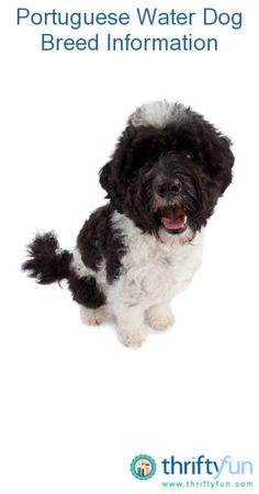 If you want to know more about the breed so amazing it's now one of the few to have ever flown on Air Force One.  This guide contains Portuguese water dog breed information and photos. These medium sized, non shedding dogs have an affectionate personality and make great pets.