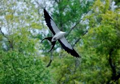 Swallow Tailed Kite  (Photo by Keith Collins)