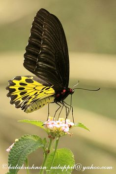Birdwing Butterfly Butterfly Photos, Butterfly Baby, Butterfly Kisses, Monarch Butterfly, Butterfly Mobile, Butterfly Dragon, God Is Amazing, Amazing Nature, Butterfly Template