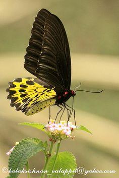 Common Birdwing_Gangtok_Sikkim_2010_04_12_IMG_2757 by Balakrishnan Valappil, via Flickr