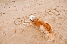 © Alice G Patterson Photography | senior Golden Retriever on beach
