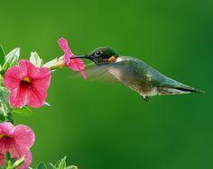Ruby-throated Hummingbird enjoying the pink petunias