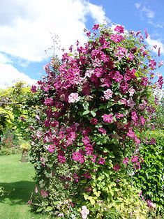 Image result for Clematis carmencita Violet Eyes, Propagation, How To Level Ground, Clematis, Light Shades, Shrubs, Pergola, In This Moment, Gallery