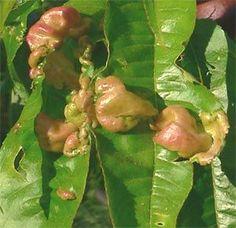 Kolibri kertészet - Gyümölcsök kártevői - Levelek, gyümölcs, virág