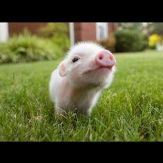 A cute mini pig or a cute micro pig or you may call them baby pigs, these cute and funny animals will surely lift your mood. Enjoy this videos compilation of. Cute Baby Pigs, Cute Piglets, Cute Baby Animals, Animals And Pets, Cute Babies, Funny Animals, Farm Animals, Baby Piglets, Wild Animals