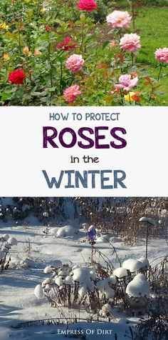 Love roses? Are winters harsh? See what you can do to protect your favourite cold climate roses during the winter months, prevent die back, and have more flowers next year. There are several options including burlap wraps, rose collars, hilling, mulch, and an unusual method called tipping.  #sponsored