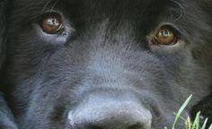terra-nova-raca-cachorro
