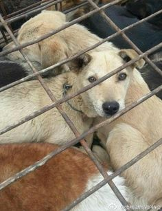 Animal Rights Activists in China are fighting for the lives of 3000+ dogs » DogHeirs   Where Dogs Are Family « Keywords: dog rescue, chongqing dog rescue, china animal law, 3/2 chongqing dog saving champaign