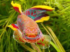 Fundulopanchax gardneri nigerianus makurdi ~by Peter M4 on Flickr