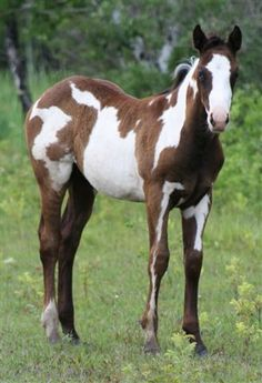 Unusual leg marking on this paint horse foal