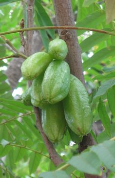Belimbing Buluh (Averrhoa bilimbi), a tropical fruit tree originated from Moluccas, Indonesia now found in Southeast Asia and most tropical countries